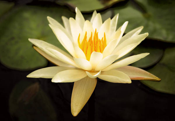 Nymphaea Lotus Photograph - Water Lily by Darren Fisher