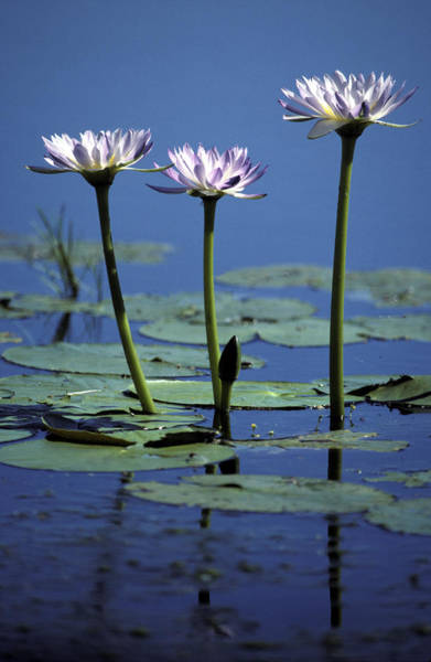 Broome Photograph - Water Lily Flowers Bloom From A Wetland by Jason Edwards