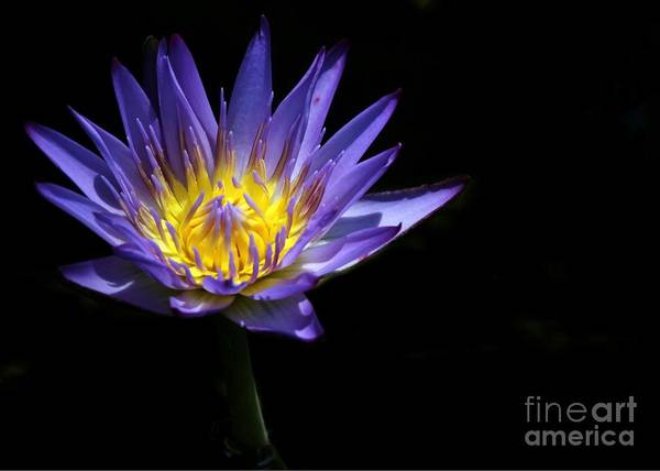Photograph - Water Lily In The Spotlight by Sabrina L Ryan