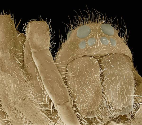 Diving Bell Photograph - Water Spider, Sem by Steve Gschmeissner