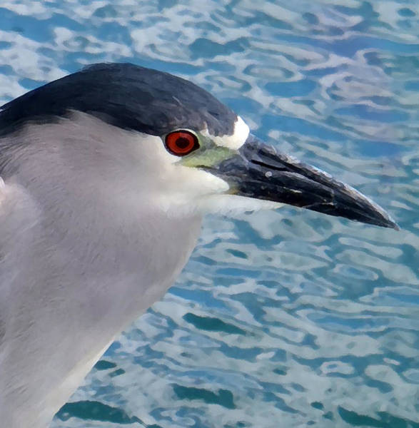Photograph - Watercolored Black-crowned Night-heron by Tony and Kristi Middleton