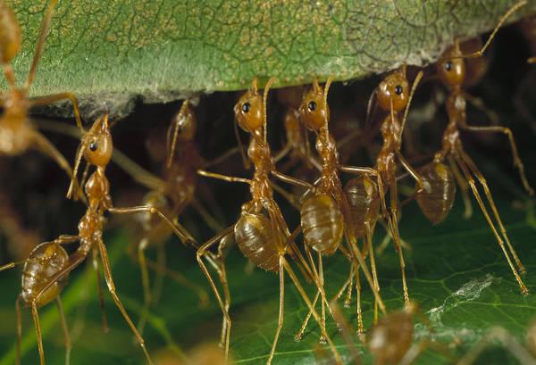 Photograph - Weaver Ant Oecophylla Longinoda Group by Mark Moffett
