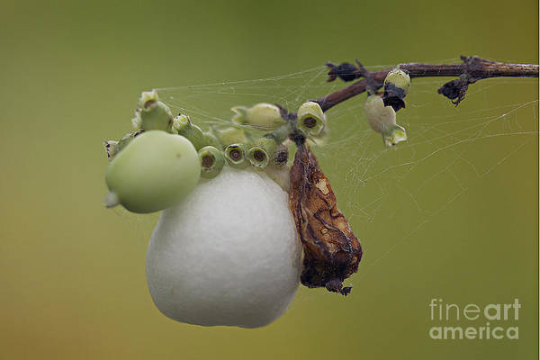 Wall Art - Photograph - Webbed Berry by Eunice Gibb