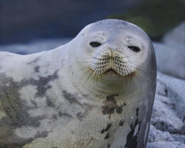 Photograph - Weddell Seal by Tony Beck