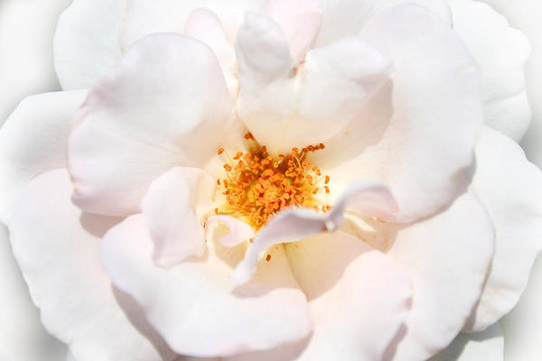 Photograph - Wedding White Rose by Mariella Wassing