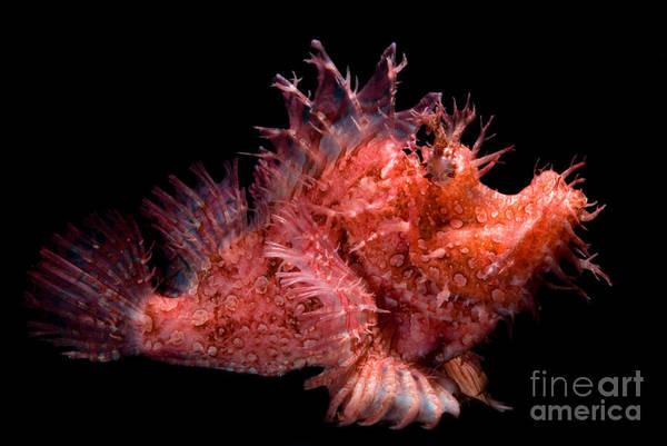 Photograph - Weedy Scorpionfish by Dante Fenolio