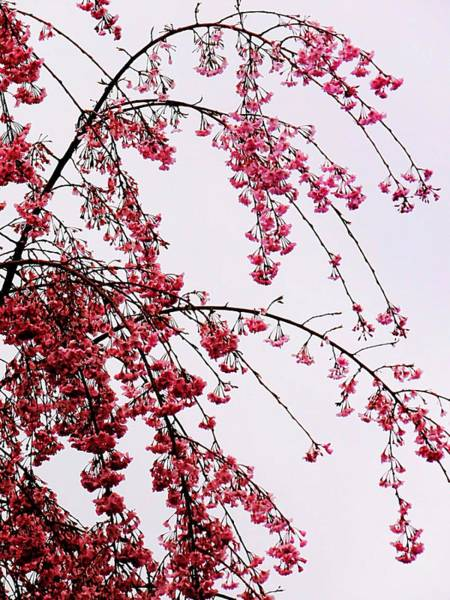 Photograph - Weeping Cherry by Beth Akerman
