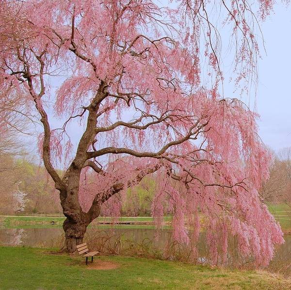 Photograph - Weeping Spring- Holmdel Park by Angie Tirado