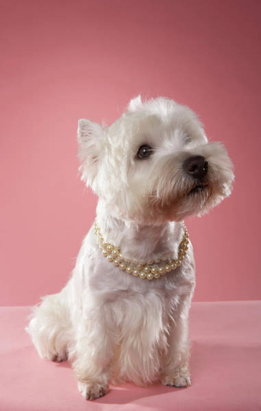 Wall Art - Photograph - West Highland Terrier Wearing Pearl Necklace by Chris Amaral