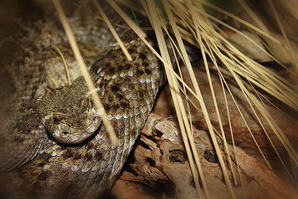 Photograph - Western Diamondback by Scott Hovind