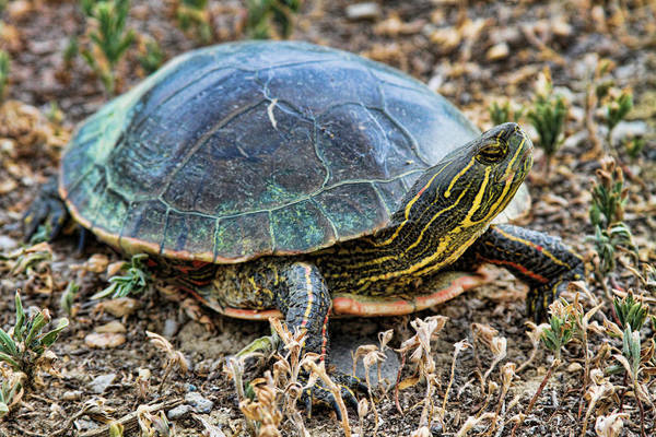 Painted Turtle Photograph - Western Painted Turtle Ll by James BO Insogna