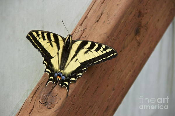 2x4 Wall Art - Photograph - Western Tiger Swallowtail by Sean Griffin