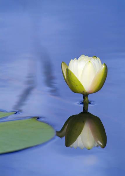 Photograph - Wetland Lily by Patrick M Lynch