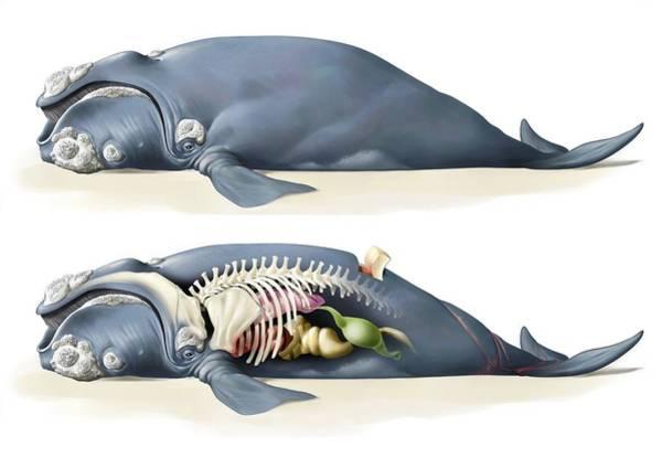 Marine Layer Photograph - Whale Anatomy by Jose Antonio PeÑas