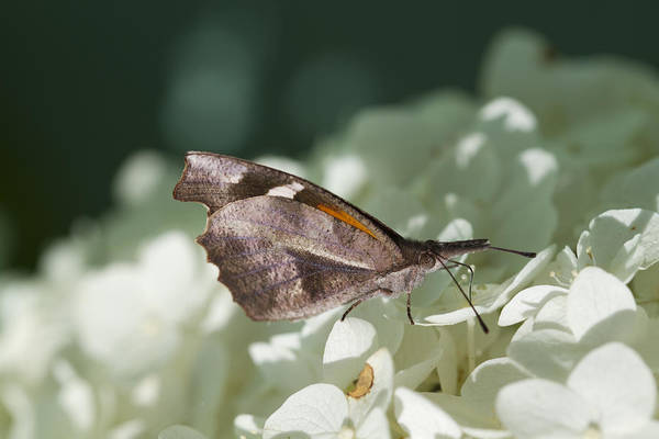 Snout Butterfly Photograph - What A Schnoz On That American Snout Butterfly by Kathy Clark