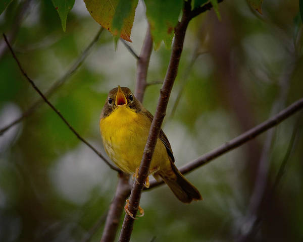 Migratory Birds Photograph - What Warblers Do by Susan Capuano