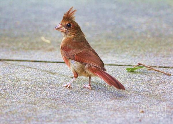Female Cardinal Photograph - Where Is The Seed Guy by Deborah Benoit