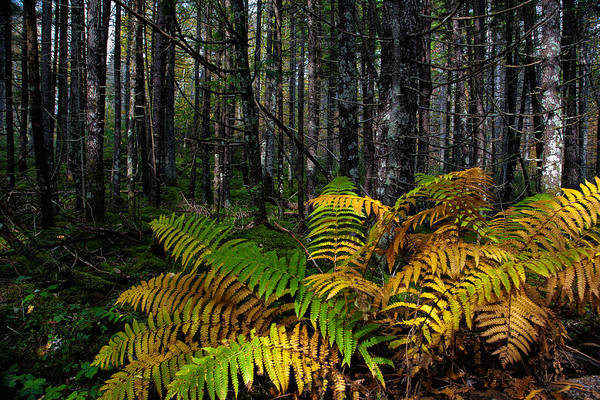 Photograph - Where The Ferns Grow by Ronald Lutz