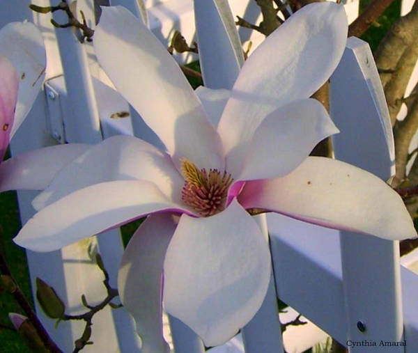 Photograph - White And Pink Magnolia by Cynthia Amaral
