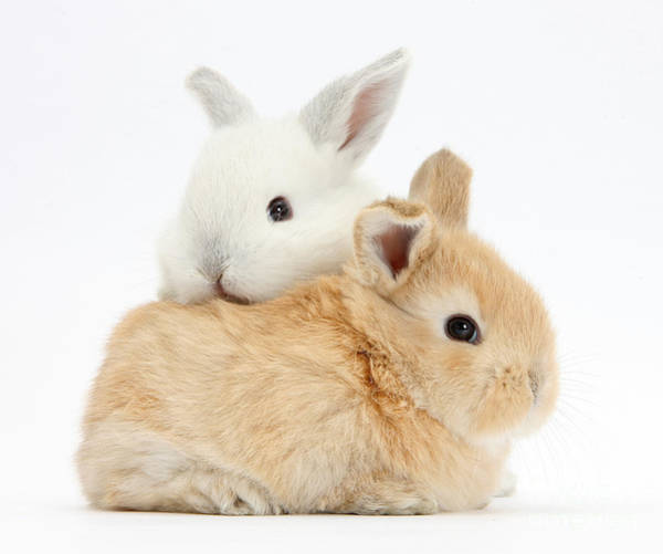 Photograph - White And Sandy Baby Rabbits by Mark Taylor
