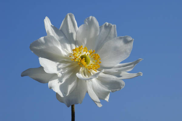Photograph - White Anemone Blue Sky by Matthias Hauser