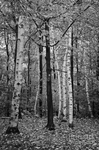 Photograph - White Birch by David Waldrop