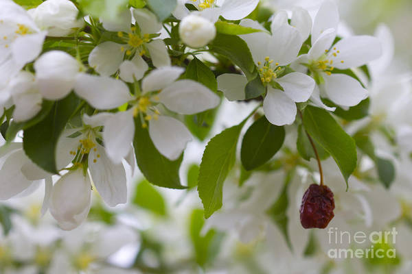 Photograph - White Bloom And Fruit by Donna L Munro