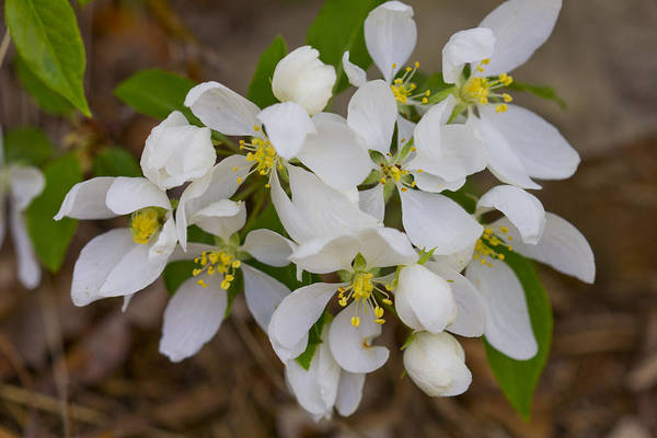 Photograph - White Blooms Cluster Large by Donna L Munro
