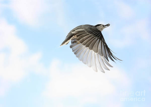 Sitta Carolinensis Photograph - White-breasted Nuthatch In Flight by Ted Kinsman