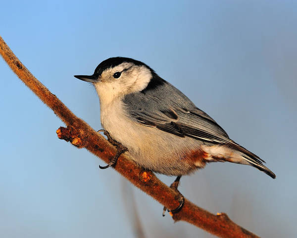 Sitta Carolinensis Photograph - White-breasted Nuthatch by Tony Beck
