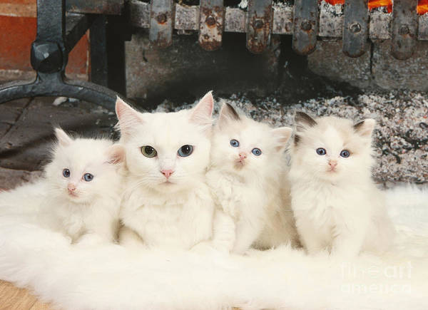 Photograph - White Cats by Mark Taylor