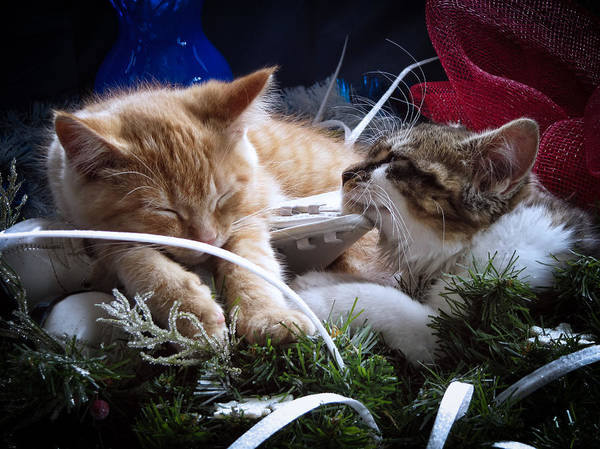 Photograph - White Christmas W Two Kittens Sleeping - Orange Tabby Cat And Maine Coon Kitty Resting On Ice Skates by Chantal PhotoPix