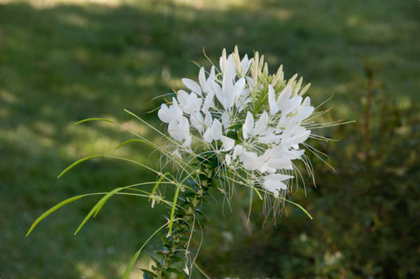 Photograph - White Cleome by Michael Bessler