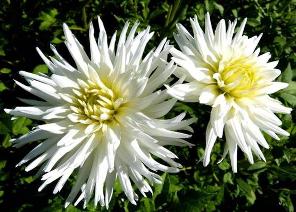 Flawless Photograph - White Dahlias In Autumn  by Will Borden