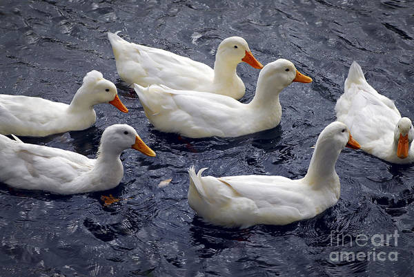 Photograph - White Ducks by Elena Elisseeva