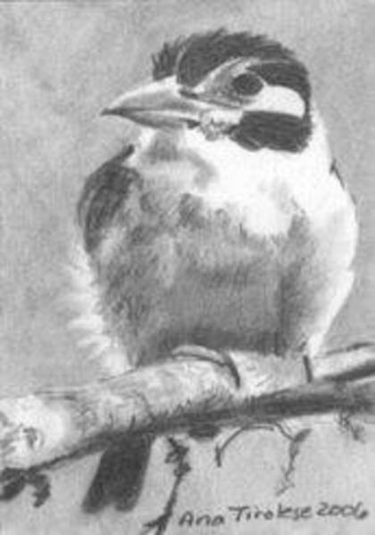 Drawing - White Earred Puffbird - Aceo by Ana Tirolese