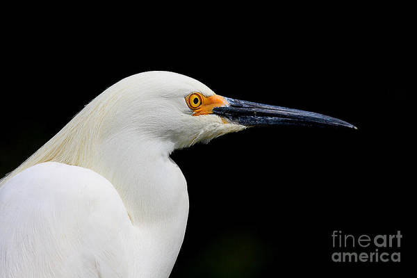 Photograph - White Egret . 40d5434 by Wingsdomain Art and Photography