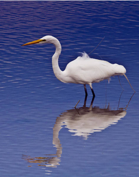 Photograph - White Egret by Bill Barber