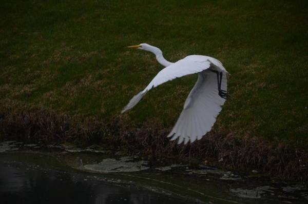 Photograph - White Egret by Randy J Heath