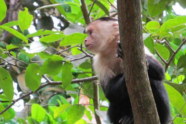 Cahuita Photograph - White Faced Capuchin In Costa Rica by Dorcas Collazo Paden