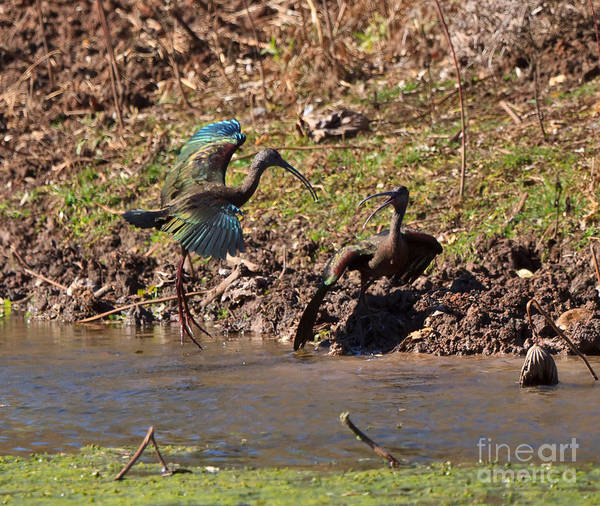 Brazos Bend State Park Wall Art - Photograph - White-faced Ibis Mating Behavior In Early Spring by Louise Heusinkveld