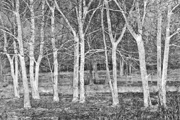 Photograph - White Grove by Debra and Dave Vanderlaan