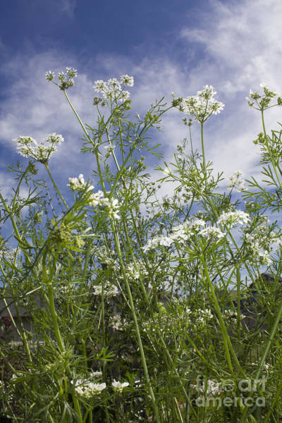 Photograph - White Cilantro Flowers by Donna L Munro