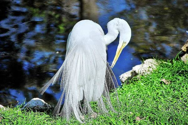 Photograph - White Heron by Bill Hosford