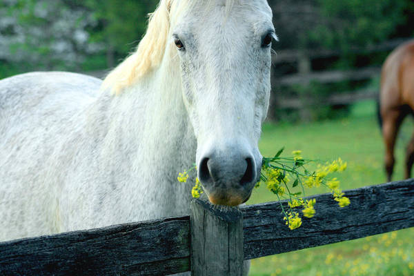 Photograph - White Horse With Flowers by Emanuel Tanjala
