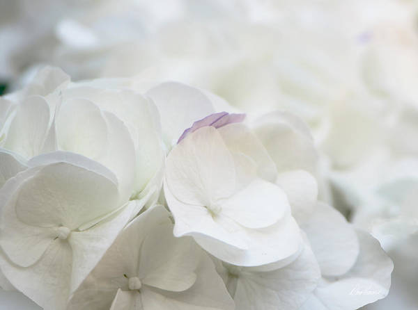 Photograph - White Hydrangea by Diana Haronis