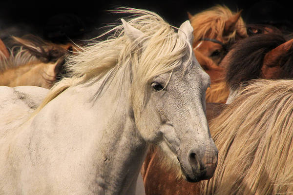 Photograph - White Icelandic Horse by Tom and Pat Cory