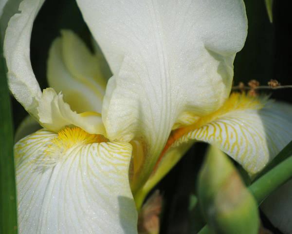 Photograph - White Iris by Jai Johnson