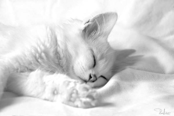 Photograph - White Kitten On White. by Raffaella Lunelli