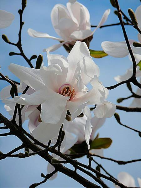 Photograph - White Magnolia On Blue by Beth Akerman